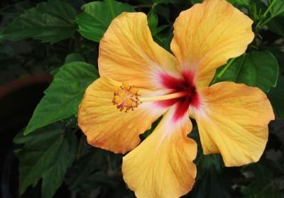 hibiscus-400x279