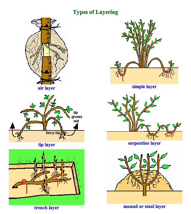 layering-plants-different-methods