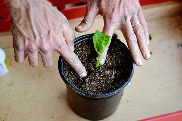 planting-hydrangea-for-plant-propagation