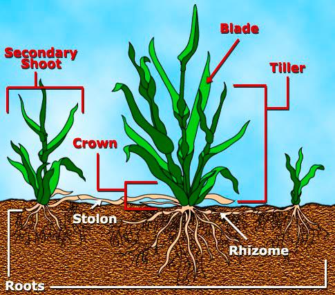 seed-lawn-grass-anatomy