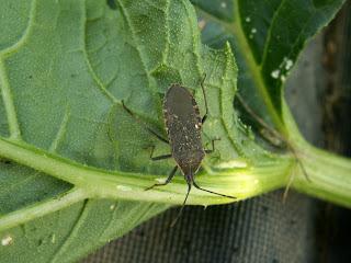companion planting nasturtium with squash