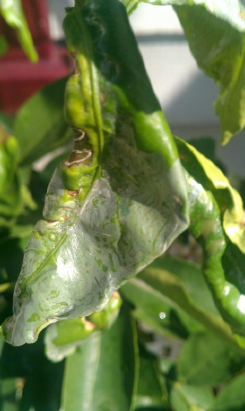 citrus-leafminer-leaf-curling-358x600